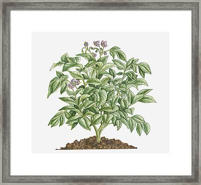 Illustration Of Solanum Tuberosum (potato) Bearing Purple Flowers With Yellow Stamen And Green Leaves Framed Print by Dorling Kindersley