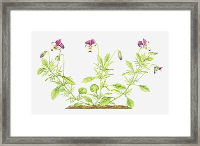 Illustration Of Viola Tricolor (wild Pansy), Wildflowers Framed Print by Helen Senior