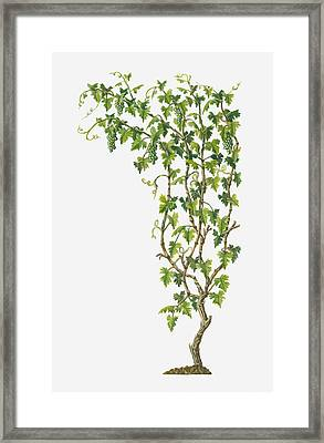 Illustration Of Vitis Vinifera (common Grape Vine) Bearing Bunches Of Ripe Green Fruit Framed Print by Dorling Kindersley