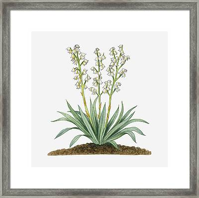 Illustration Of Yucca Baccata (datil Yucca, Banana Yucca) Bearing White Hanging Flowers On Long Stems With Long Green Leaves Framed Print