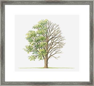 Illustration Showing Shape Of Ulmus Glabra (wych Elm) Tree With Green Summer Foliage And Bare Winter Branches Framed Print by Dorling Kindersley