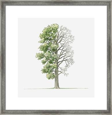 Illustration Showing Shape Of Ulmus Laevis (white Elm) Tree With Green Summer Foliage And Bare Winter Branches Framed Print by Dorling Kindersley