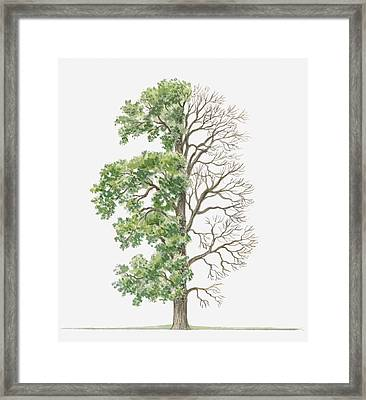 Illustration Showing Shape Of Ulmus Procera (english Elm) Tree With Green Summer Foliage And Bare Winter Branches Framed Print by Dorling Kindersley
