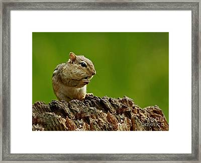 I'm Almost Stuffed- Chipmunk In The Forest Framed Print by Inspired Nature Photography Fine Art Photography