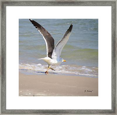 Im Out Of Here - Lesser Black-backed Gull Framed Print by Roena King