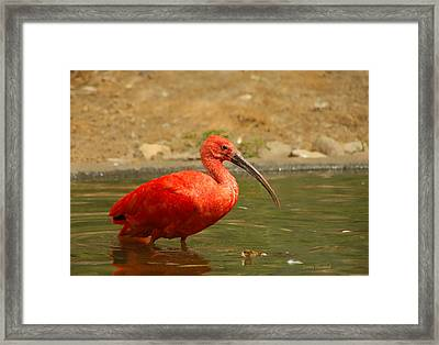 I'm So Embarrassed Framed Print by Donna Blackhall