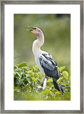 Immature Anhinga Framed Print by Patrick M Lynch