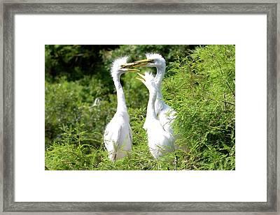 Immature Egrets Framed Print