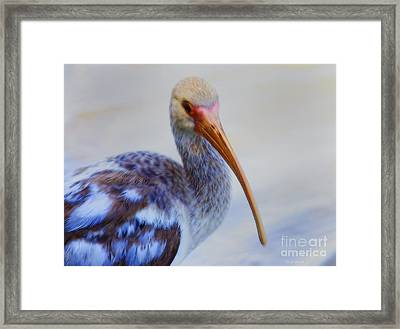 Immature Ibis Framed Print