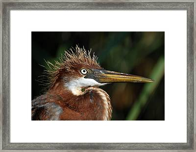 Immature Louisiana Hair Day Framed Print by Skip Willits