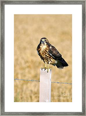 Immature Swainson's Hawk Framed Print by Laura Mountainspring