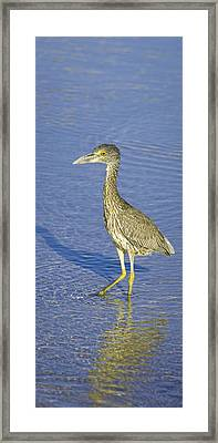 Immature Yellow Crowned Night Heron  Framed Print