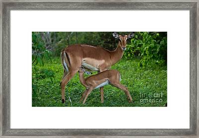 Impalas Framed Print