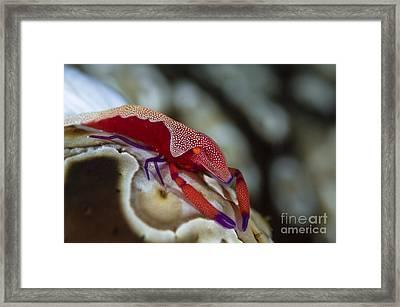 Imperator Commensal Shrimp On Eyed Sea Framed Print