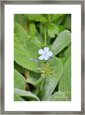 Imperial Blue Framed Print by Kathy Gibbons