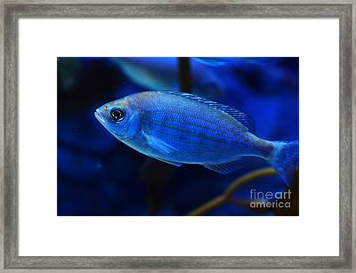 In Blue Waters Framed Print by Pravine Chester