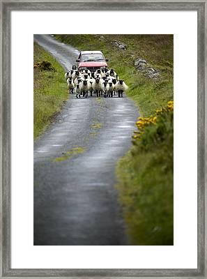 In Irish Shepherd Herds His Flock Framed Print by Pete Ryan