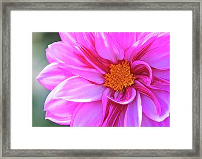 In Love With Pink Framed Print by Becky Lodes