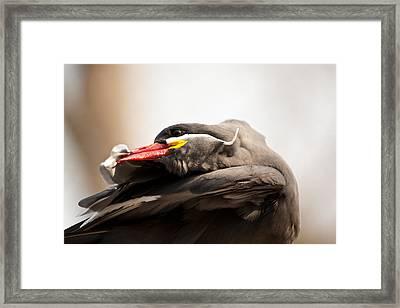 Inca Tern Framed Print by Karol Livote