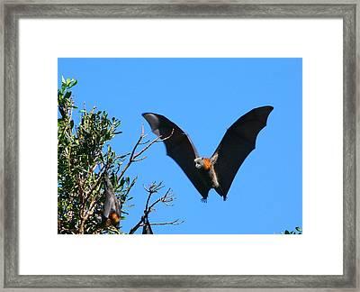 Incoming - Grey-headed Flying Fox Framed Print by Bruce J Robinson