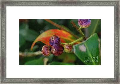 Indian Hawthorne Framed Print