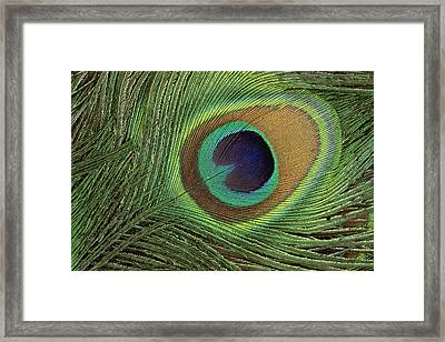Indian Peafowl Pavo Cristatus Display Framed Print by Gerry Ellis