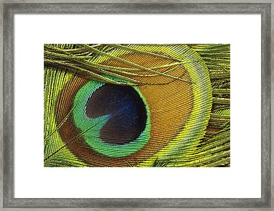 Indian Peafowl Pavo Cristatus Male Framed Print by Gerry Ellis