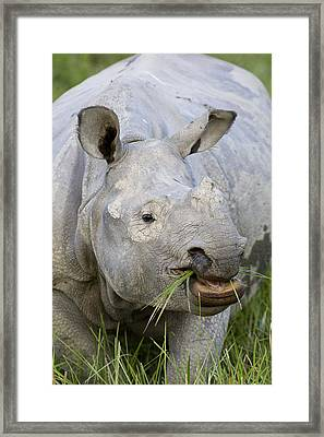 Indian Rhinoceros Grazing Kaziranga Framed Print