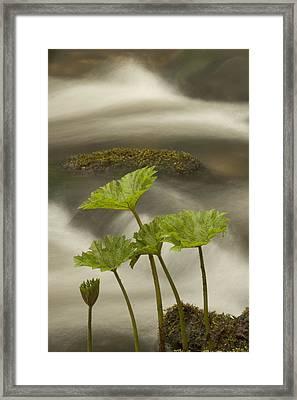 Indian Rhubarb Darmera Peltata Growing Framed Print by Phil Schermeister