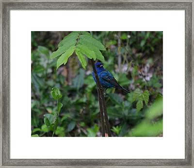 Indigo Bunting Surprise Framed Print by Mary Zeman