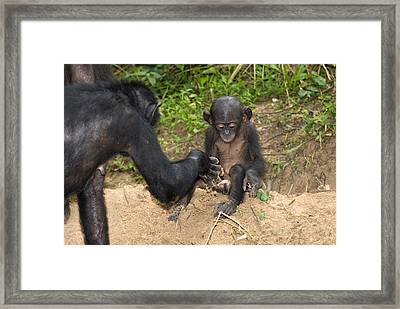 Infant Bonobo Ape And Mother Framed Print