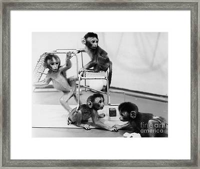 Infant Monkeys At Play Framed Print by Science Source