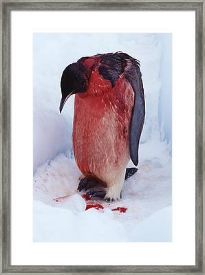Injured Emperor Penguin Framed Print by Doug Allan