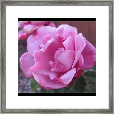 #inmygarden #rose #lavender #pink Framed Print