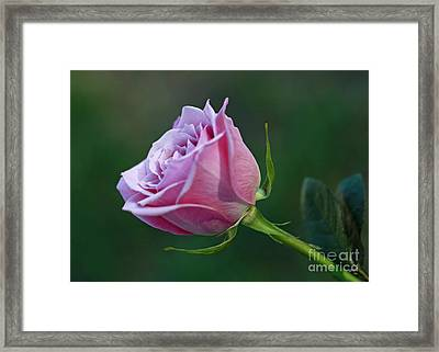 Innocence At Sunrise- Pink Rose Blossom Framed Print by Inspired Nature Photography Fine Art Photography
