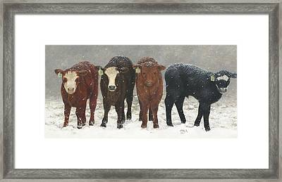 Inquisitive Calves Framed Print
