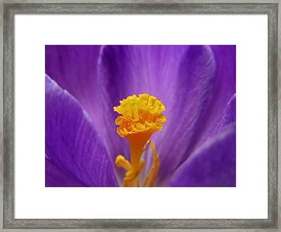 Inside A Crocus Framed Print by Mary Lane