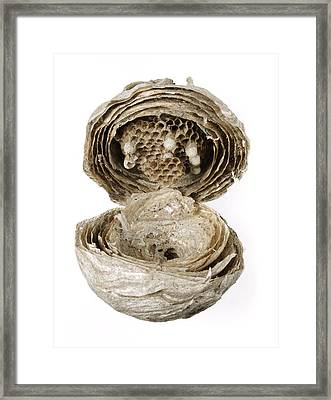 Inside Of A Wasp Nest Framed Print by Cordelia Molloy