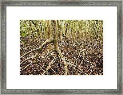 Interior Views Of Tall Mangrove Forest Framed Print by Tim Laman