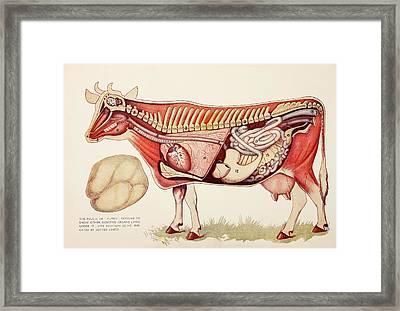 Internal Organs Of A Cow Withn The Framed Print by Ken Welsh