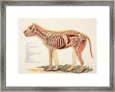 Internal Organs Of A Male Dog.  From Framed Print by Ken Welsh