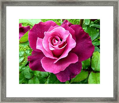 Intrigue Rose Framed Print