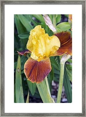 Iris 'all That Jazz' Framed Print by Adrian Thomas