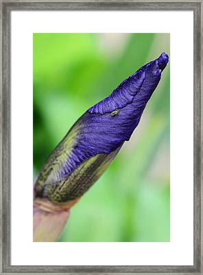 Iris And Friend Framed Print by Lisa Phillips
