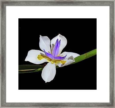 Iris Framed Print by Bonnie Muir