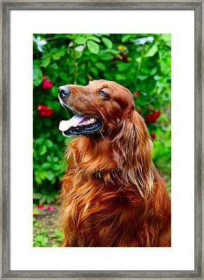 Irish Setter Framed Print by Jenny Rainbow