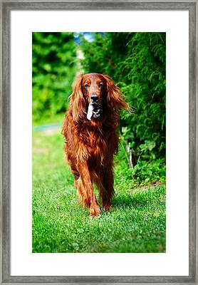 Irish Setter V Framed Print by Jenny Rainbow