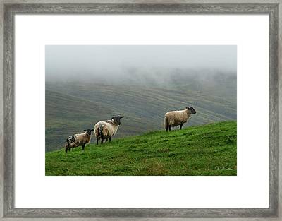 Irish Sheep In The Mist Framed Print by Joe Bonita