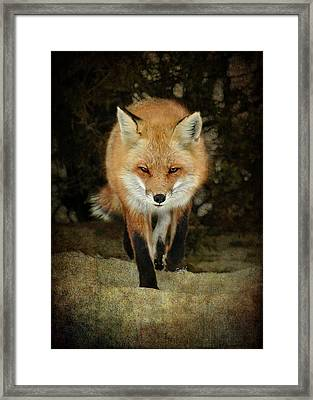 Island Beach Fox Framed Print