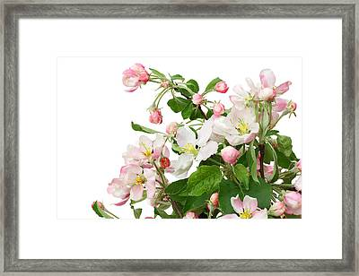 Framed Print featuring the photograph Isolated Pink Apple Flowers by Aleksandr Volkov